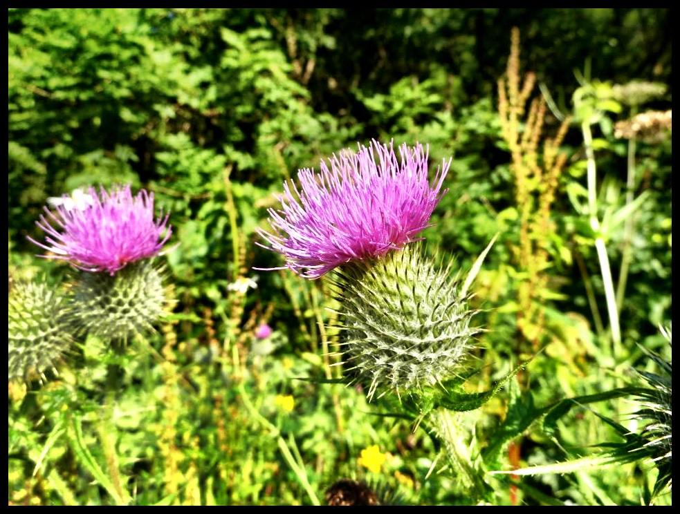 'n Thistle - Skotland se nasionale blom…en miskien een honderdste so groot soos 'n protea.